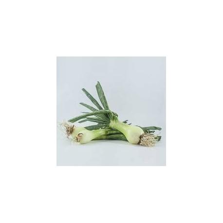 Cebolleta blanca BIO, precio por manojo 500 grs. aprox.
